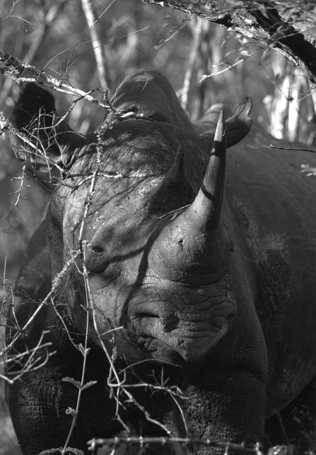 B:W Black Rhino